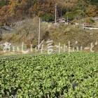 細島蕪(圃場)