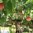 川中島白桃の原木