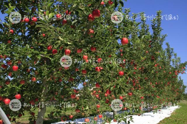りんご【シナノピッコロ】(圃場)