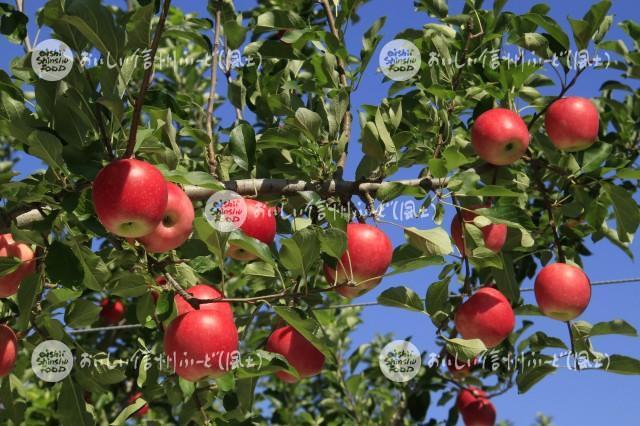 りんご【シナノピッコロ】(複数)