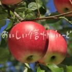 りんご【シナノピッコロ】(単体)