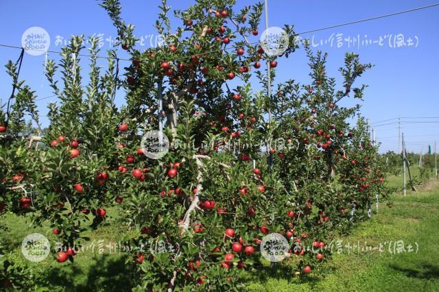 りんご【シナノプッチ】(圃場)