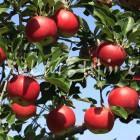 りんご【シナノプッチ】(複数)
