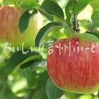 りんご【シナノドルチェ】(単体)