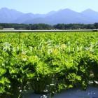 原村・セルリー畑と八ヶ岳