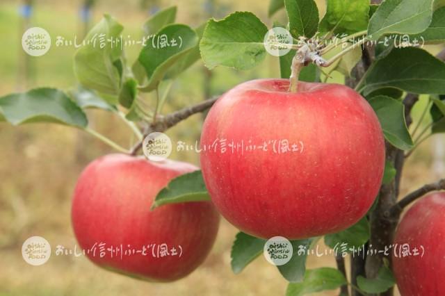 りんご【シナノスイート】(単体)