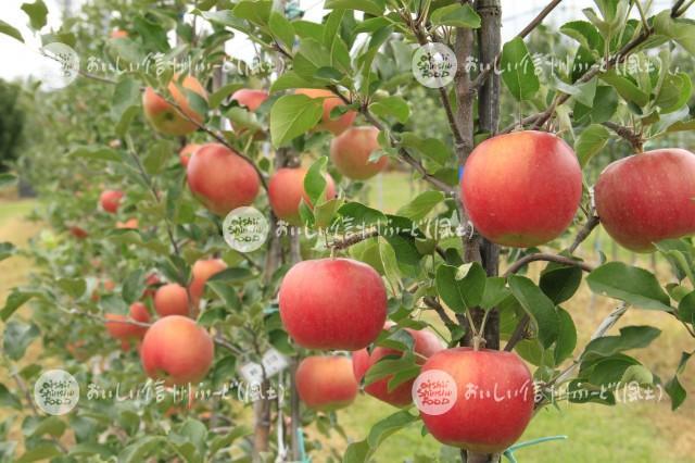 りんご【シナノスイート】(複数)