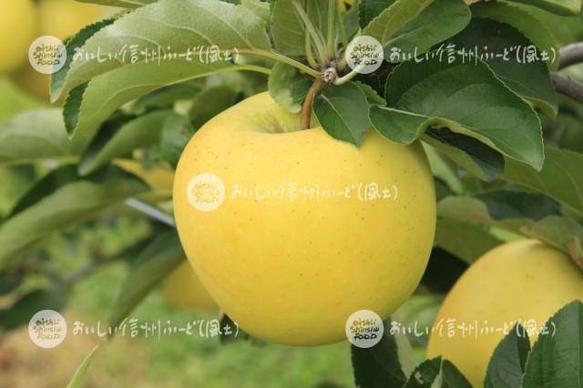 りんご【シナノゴールド】(単体)