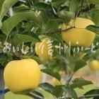 りんご【シナノゴールド】(複数)