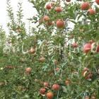 りんご【シナノスイート】(圃場)