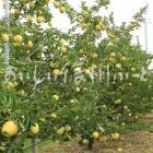 りんご【シナノゴールド】(圃場)