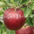 りんご【秋映】(単体)