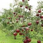 りんご【秋映】(圃場)