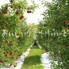 豊丘村のりんご畑