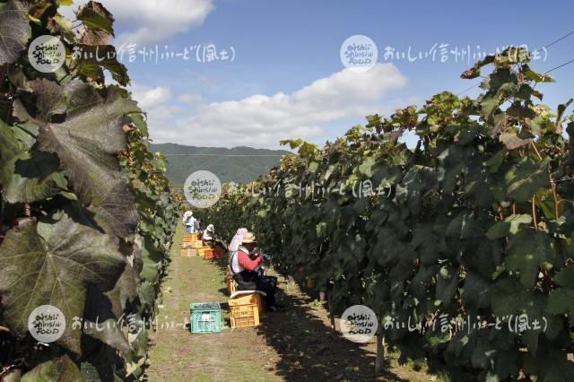 宮田村の醸造用ぶどう(収穫風景)