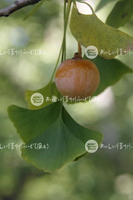 銀杏(単体)