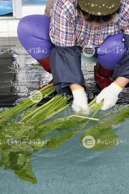 野沢菜のお菜洗い