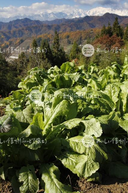 小川村の野沢菜畑と北アルプス