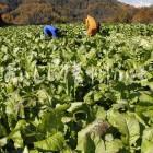小川村の野沢菜畑(収穫風景)