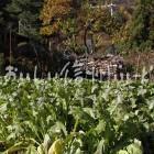 稲核菜(圃場)