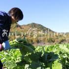 開田蕪(収穫風景)