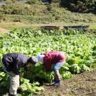木曽菜(収穫風景)