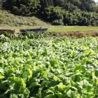 木曽菜(圃場)