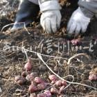 キクイモ(収穫風景)