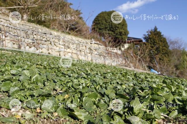 飯田冬菜(圃場)