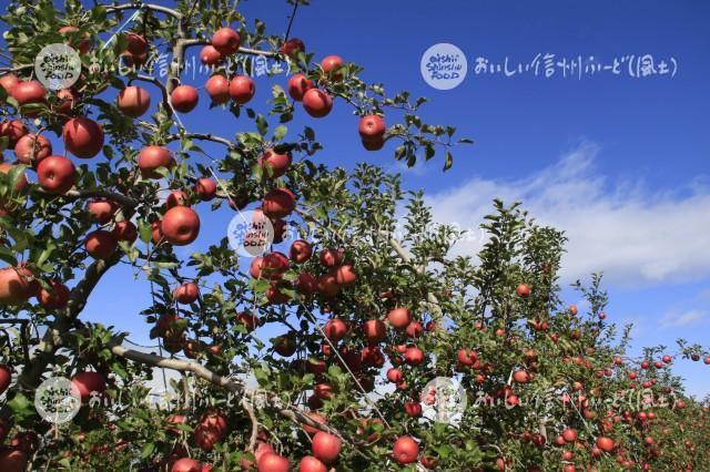 りんご【ふじ】(圃場)