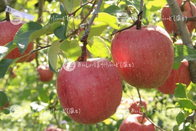 りんご【ふじ】(複数)