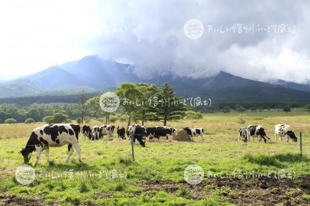 八ヶ岳牧場の放牧風景