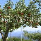 高森町のりんご畑