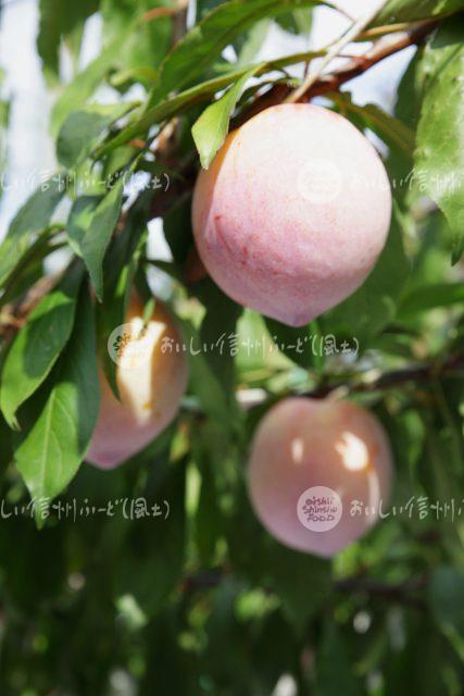 果樹試験場の麗玉