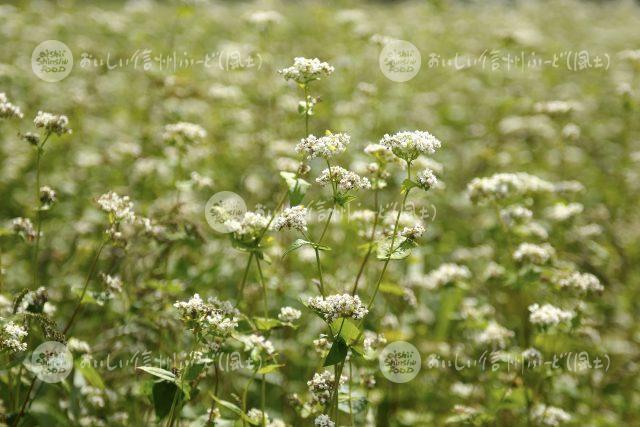 ひすいそばの花(圃場:信濃町)