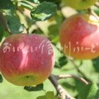 りんご【シナノリップ】(複数)