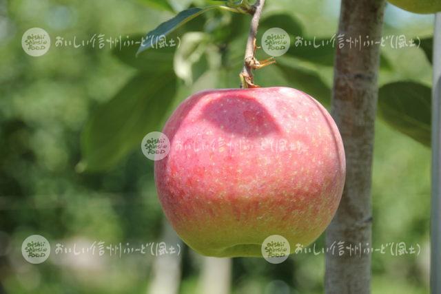 りんご【シナノリップ】(単体)