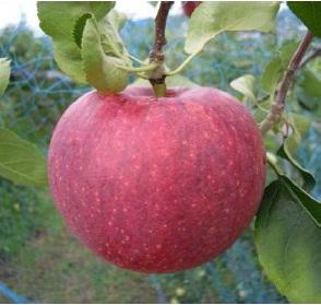 8月のおいしい部局長会議で、長野県期待の新品種「リンゴ長果25」が紹介されました!