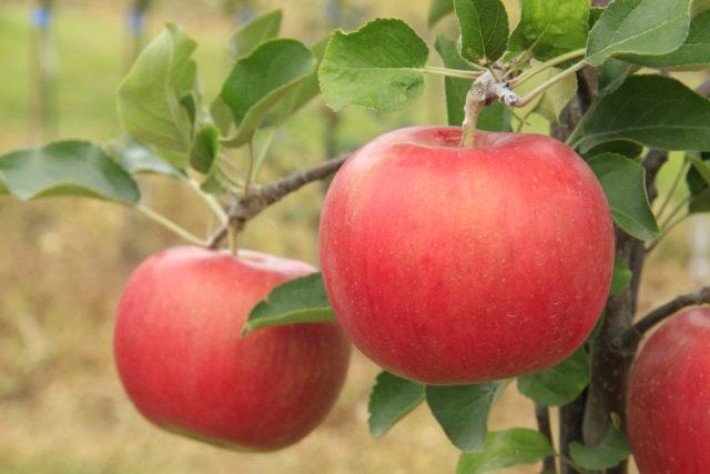 りんごの売れ筋NO.1 りんご「シナノスイート」の出荷が始まりました!