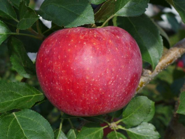 信州のおいしい夏りんご「シナノリップ」販売開始のお知らせ♪