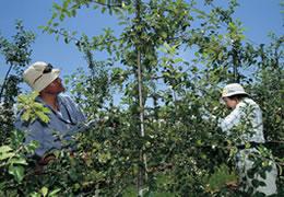 わい化栽培されているりんご